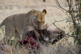 Lion drags a wildebeest carcass in the Masai Mara — Stock Photo