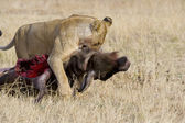 Lion drags wildebeest carcass in the Masai Mara — Stock Photo