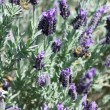 Stock Photo: Lavender garden in full bloom