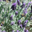 Стоковое фото: Lavender garden in full bloom