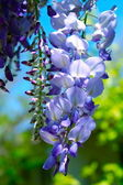 Wisteria in full bloom — Stock Photo