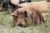 Russell het varken — Stockfoto