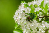 Rose beetle - Cetonia aurata — Stock Photo
