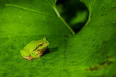 Rela-verde - arborícola-europeia — Foto Stock
