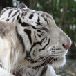 White tiger — Stock Photo #10198753
