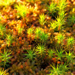 Polytrichum commune — Stock Photo