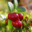 Cowberries — Stock Photo