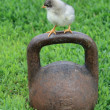 Chicken on the iron weight — Stock Photo