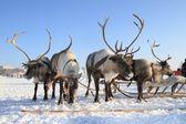 Reindeer — Stock fotografie