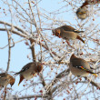 Stock Photo: Waxwing. Flight of birds on branch