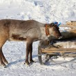 Young reindeer -  