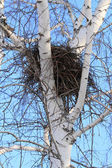 Nest of a bird on a birch — Stock Photo