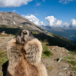 Stock Photo: Alpine Marmot.