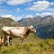 Alpine cows. - 