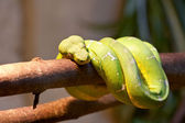 Emerald tree boa. — Stockfoto