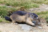 Marmotte — Photo