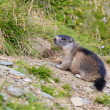 Alpine Marmot (Marmota marmota) - Stock Photo