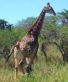 Giraffe walking through the park — Stock Photo