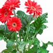 Red Daisy Flower Pot — Stock Photo