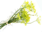 Fennel blossoms — Stock Photo