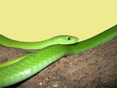 Green mamba snake — Stock Photo