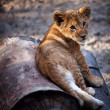 Lion cub in the Novosibirsk zoo — Stock Photo