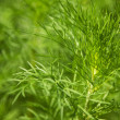 Green grass closeup - Stock Photo