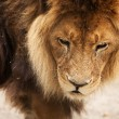 Close-up of an African lion, Novosibirsk Zoo - Stock Photo