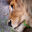 Adult lion lying on sand — Stock Photo #8932723