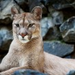 Closeup of a Cougar in Novosibirsk zoo - Stock Photo