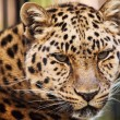 Leopard closeup - Stock Photo