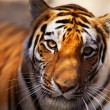 Stock Photo: Tiger in Novosibirsk zoo