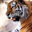 Tiger in the Novosibirsk zoo — Stock Photo