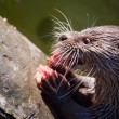 Giant river otter looking at - Stock Photo