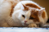 Cat with pedigree lie on the floor — Stock Photo