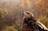 Portrait of mountain eagle — Stock Photo