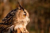 Profile of brown owl — Stock Photo