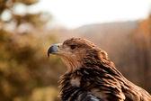 Profile view of mountain eagle — Stock Photo