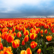 Tulip field in dutch countryside - Stock Photo