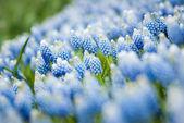 Heather flowers blossom — Stock Photo
