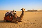 Camel on the desert — Stock Photo