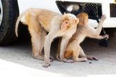 Mokeys playing — Stock Photo