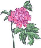 Pink peony — Stock Vector