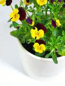 Pansy flower — Foto de Stock