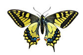 Old World Swallowtail (Papilio-machaon) butterfly on white backg — Stock Photo