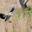 Nile Goose in Flight — Stock Photo