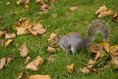 British Squirrel — Stockfoto