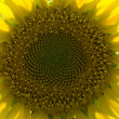 Sunflower 5 — Stockfoto