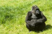 Gorilla on the grass — Stock Photo