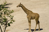 Girrafe 3 — Stock Photo